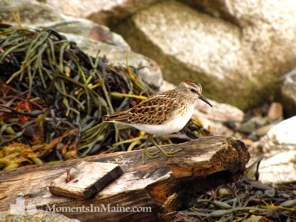 Sandpipers #SLB-006
